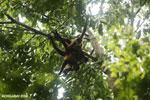 Group of Geoffroy's Spider Monkeys