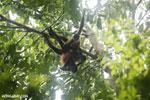 Group of Geoffroy's Spider Monkeys [costa_rica_osa_0665]