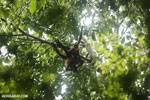 Group of spider monkeys