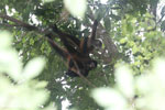 Group of Geoffroy's Spider Monkeys [costa_rica_osa_0667]
