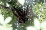 Group of Geoffroy's Spider Monkeys [costa_rica_osa_0668]