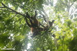 Group of Costa Rican spider monkeys [costa_rica_osa_0670]