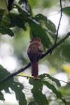 Bird [costa_rica_osa_0677]