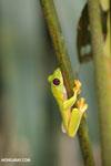 Agalychnis spurrelli tree frog [costa_rica_osa_0687]