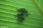 Agalychnis spurrelli tree frog [costa_rica_osa_0699]