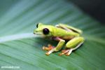 Agalychnis spurrelli tree frog [costa_rica_osa_0705]