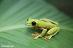 Agalychnis spurrelli tree frog [costa_rica_osa_0707]