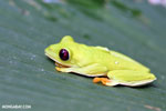 Gliding tree frog (Agalychnis spurrelli) [costa_rica_osa_0709]