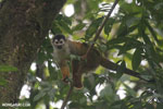 Squirrel monkey [costa_rica_osa_0710]