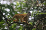 Squirrel monkey [costa_rica_osa_0721]