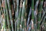 Giant bamboo [costa_rica_osa_0758]