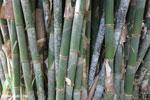 Giant bamboo [costa_rica_osa_0760]