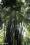 Giant bamboo [costa_rica_osa_0761]