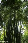 Giant bamboo [costa_rica_osa_0762]