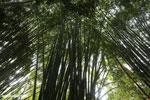 Giant bamboo [costa_rica_osa_0763]