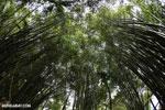 Giant bamboo [costa_rica_osa_0765]
