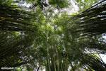 Giant bamboo [costa_rica_osa_0766]