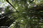 Giant bamboo [costa_rica_osa_0767]
