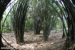 Giant bamboo [costa_rica_osa_0769]