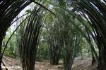 Giant bamboo [costa_rica_osa_0770]
