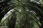 Giant bamboo [costa_rica_osa_0771]