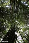 Giant bamboo [costa_rica_osa_0772]