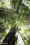 Giant bamboo [costa_rica_osa_0773]