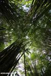Giant bamboo [costa_rica_osa_0774]