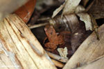 Frog [costa_rica_osa_0777]