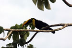 Chestnut-mandibled Toucan (Ramphastos swainsonii) [costa_rica_osa_0810]