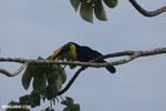 Chestnut-mandibled Toucan (Ramphastos swainsonii) [costa_rica_osa_0812]