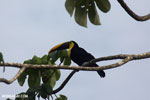 Chestnut-mandibled Toucan (Ramphastos swainsonii) [costa_rica_osa_0813]