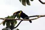 Chestnut-mandibled Toucan (Ramphastos swainsonii) [costa_rica_osa_0814]