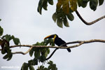 Chestnut-mandibled Toucan (Ramphastos swainsonii) [costa_rica_osa_0816]