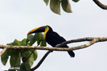 Chestnut-mandibled Toucan (Ramphastos swainsonii) [costa_rica_osa_0817]
