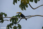 Chestnut-mandibled Toucan (Ramphastos swainsonii) [costa_rica_osa_0819]