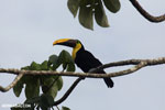 Chestnut-mandibled Toucan (Ramphastos swainsonii) [costa_rica_osa_0820]