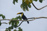 Chestnut-mandibled Toucan (Ramphastos swainsonii) [costa_rica_osa_0823]