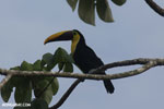 Chestnut-mandibled Toucan (Ramphastos swainsonii) [costa_rica_osa_0824]