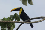 Chestnut-mandibled Toucan (Ramphastos swainsonii) [costa_rica_osa_0825]