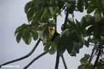 Chestnut-mandibled Toucan (Ramphastos swainsonii) [costa_rica_osa_0826]