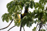 Chestnut-mandibled Toucan (Ramphastos swainsonii) [costa_rica_osa_0827]
