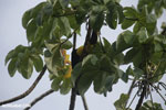 Chestnut-mandibled Toucan (Ramphastos swainsonii) [costa_rica_osa_0828]