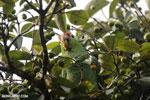 Parrot [costa_rica_osa_0829]