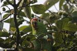 Parrot [costa_rica_osa_0836]