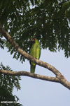 Parrot [costa_rica_osa_0840]