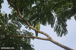 Parrot [costa_rica_osa_0841]