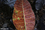 Rainforest leaf decaying on the forest floor [costa_rica_osa_0865]