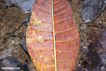 Rainforest leaf decaying on the forest floor [costa_rica_osa_0866]