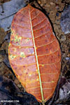 Rainforest leaf decaying on the forest floor [costa_rica_osa_0868]